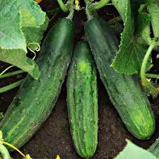 Planting, Growing, and Harvesting Cucumbers